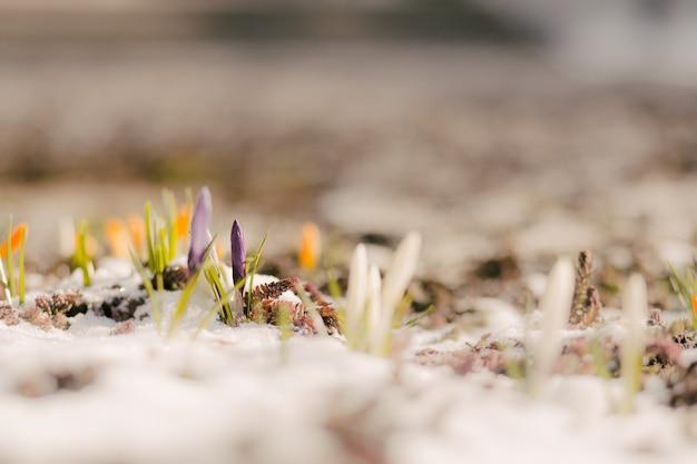 Primeras flores de primavera en la nieve