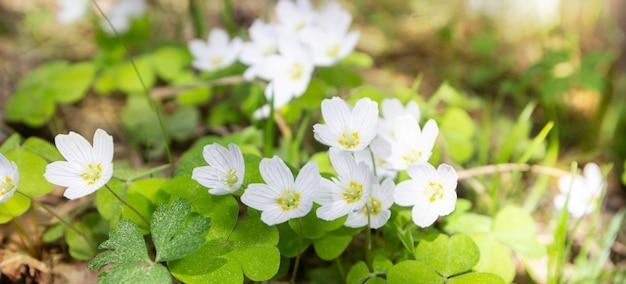 Los primeros snowdrops tempranos florecen en bosque en sol.