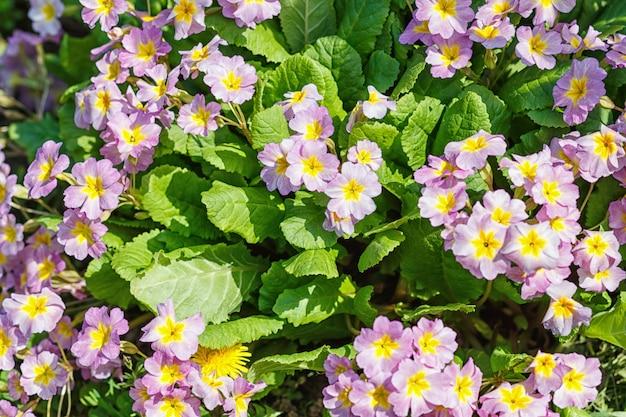 Primrose o primula en el jardín de primavera