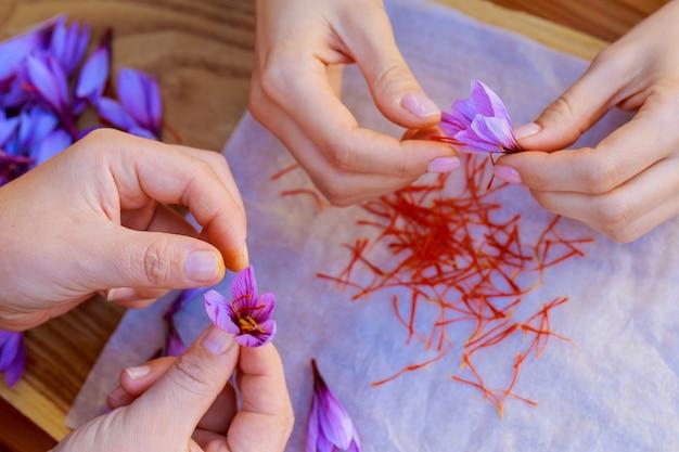 Proceso de separación de las hebras de azafrán del resto de la flor. preparar hebras de azafrán para secarlas antes de usarlas en cocina, cosmetología o medicina.
