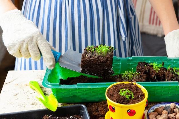Proceso de trasplante de plantas de cerca. accesorios de jardinería