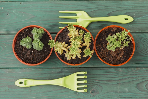 Proceso de trasplante suculento. mini brotes y accesorios de jardinería