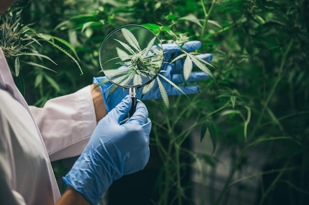 La producción de medicamentos a base de hierbas a partir de marihuana en un experimento médico.