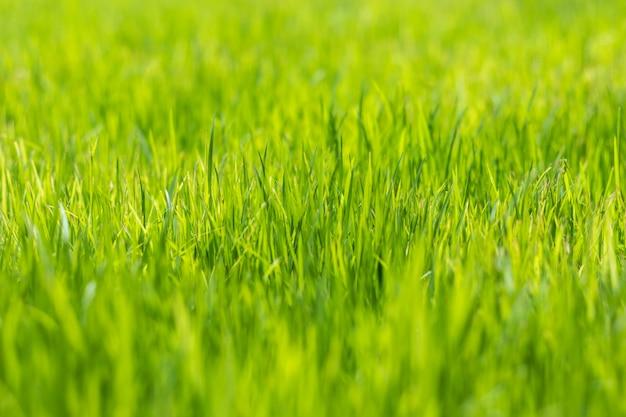 Profundidad del campo baja del fondo de la hierba verde, papel pintado macro de la naturaleza