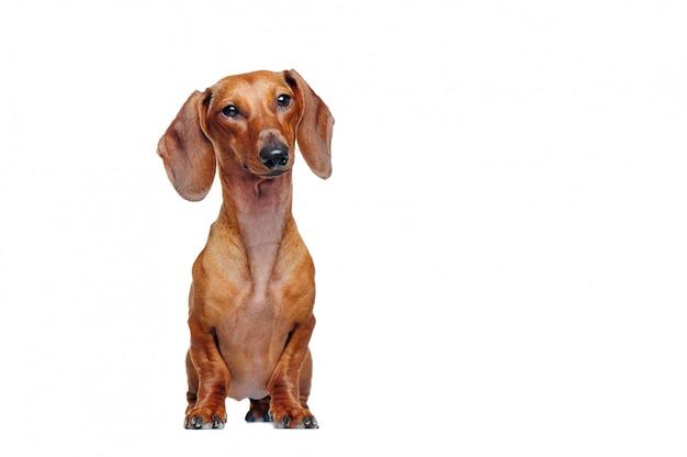 Pront ver retrato de cuerpo entero de un bonito perro salchicha