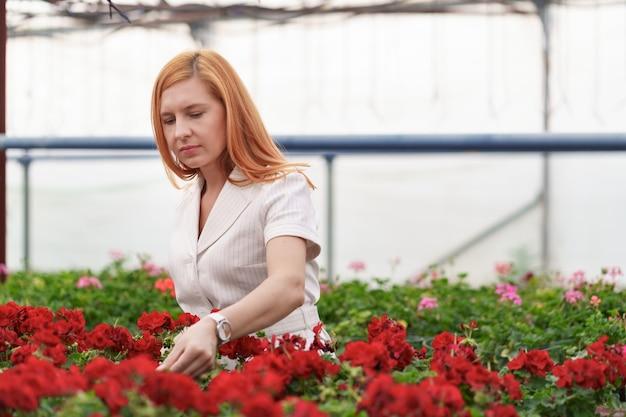 Propietario de invernadero mirando la cosecha de flores de geranio con cuidado
