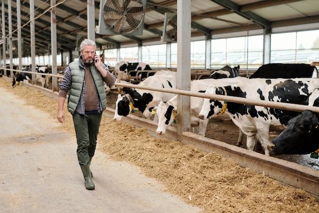 Propietario masculino maduro serio contemporáneo de la granja de animales consultar a alguien en el teléfono inteligente mientras camina por el paddock con ganado