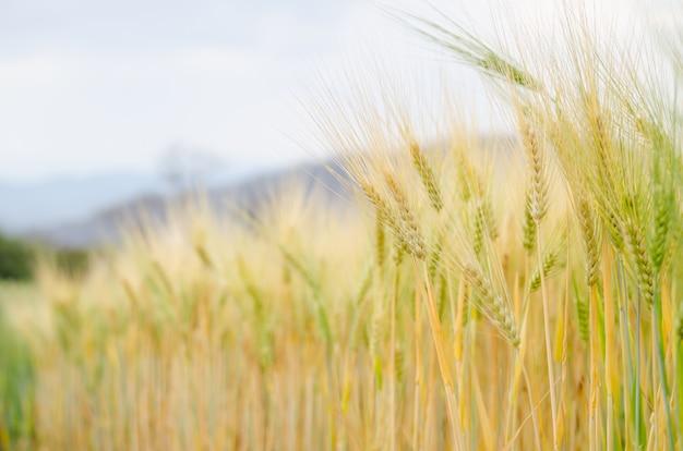 Prueba de conversión de cebada en campo en el norte de tailandia, color dorado del arroz, cebada espinosa, grano seco