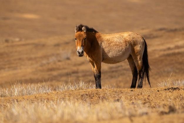 Przewalskis retrato de caballo en la mágica luz suave durante el invierno en mongolia