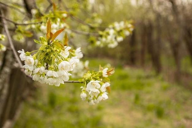 Pueblo. cerca. flores de cerezo en el pueblo.