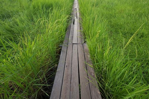 Puente de madera de 100 años entre el campo de arroz en nakhon ratchasima, tailandia