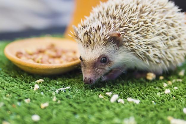 Puercoespín enano comiendo comida en un jardín verde mímico