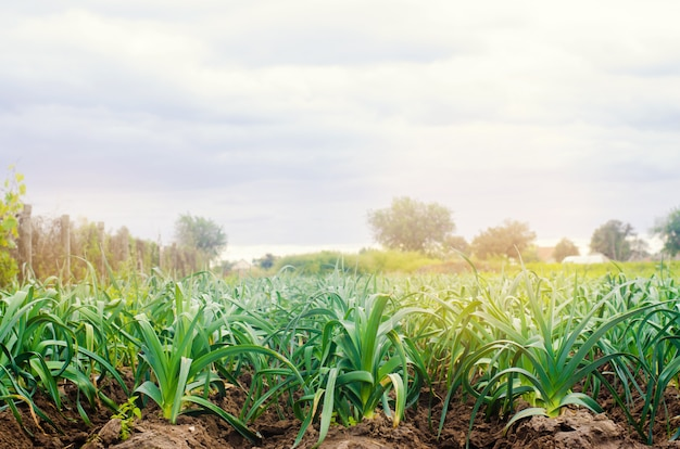 Puerro que crece en el campo. agricultura, hortalizas, productos agrícolas orgánicos.