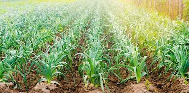 Puerro que crece en el campo. agricultura