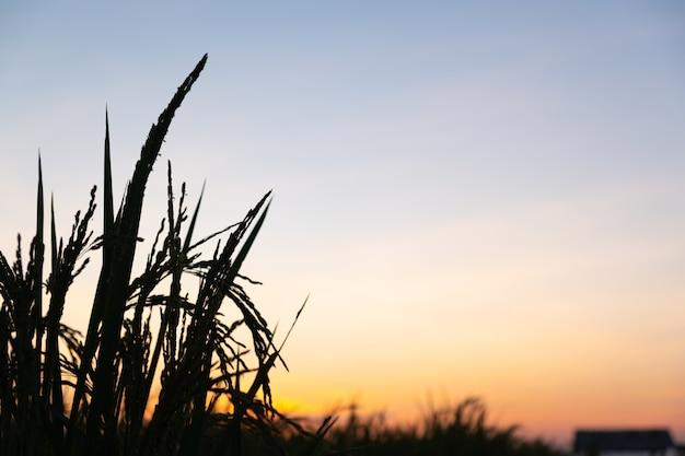 Puesta de sol de arroz silueta o tiempo de salida del sol con espacio de copia