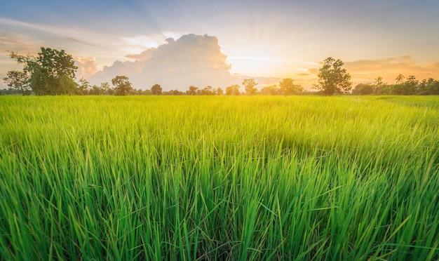 Puesta de sol de paisaje de hierba verde de campo de arroz