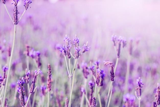 Puesta de sol sobre un campo violeta de lavanda en la provenza, hokkaido