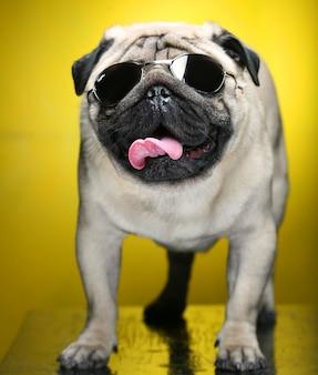Pug con gafas de sol.