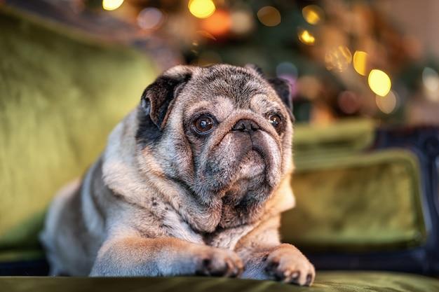 Pug de navidad sentado en el fondo de un árbol de navidad decorado
