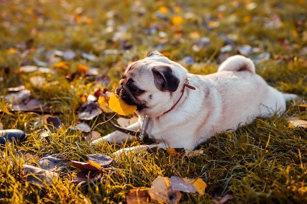 Pug perro mordiendo la hoja en el parque de otoño. feliz cachorro sentado en la hierba por las piernas del hombre. perro jugando y divirtiéndose