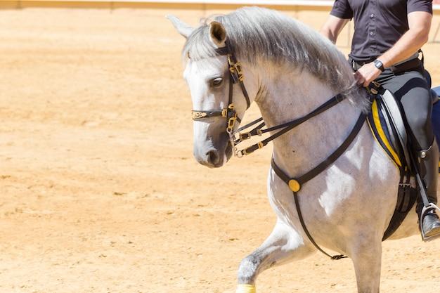 Pura carrera de caballos dócil y obediente