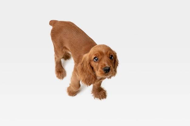 Pura juventud loca. perro joven cocker spaniel inglés está planteando. lindo perrito o mascota juguetón de braun blanco está jugando y parece feliz aislado sobre fondo blanco. concepto de movimiento, acción, movimiento.