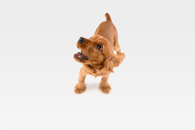 Pura juventud loca. perro joven cocker spaniel inglés está planteando.