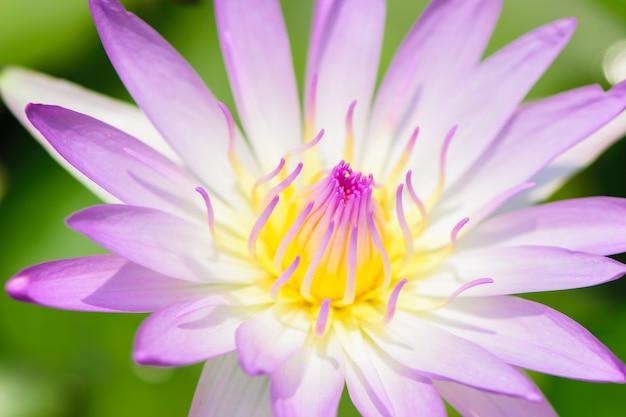 Púrpura de la belleza del primer waterlily.