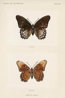 Púrpura de manchas rojas (limenitis ursula) de polillas y mariposas de los estados unidos