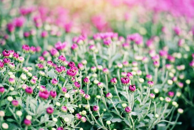 Púrpura rosa crisantemo flores decoración festival celebración - jardín de otoño crisantemo en flor en maceta