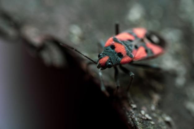 Pyrrhocoris apterus se sienta en la corteza de un árbol