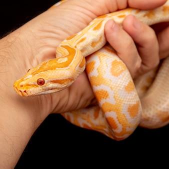 Python dorado, pitón reticulado (python reticulatus).