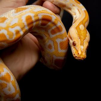 Python molurus bivitattus es una de las especies de serpientes más grandes.