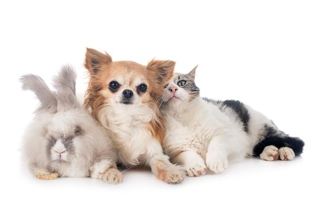 Rabit, gato y chihuahua sobre fondo blanco.