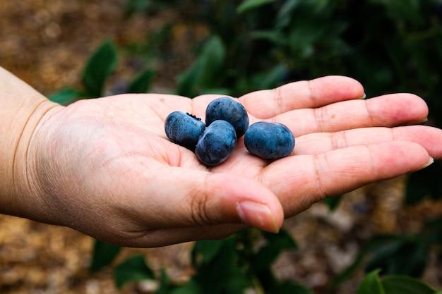 Racimo de arándanos maduros en un arbusto de arándanos en japón.