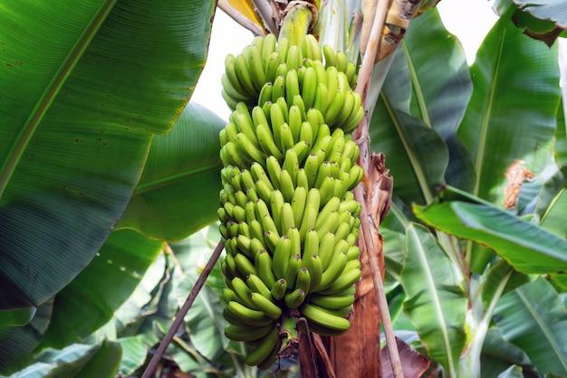 Racimo de banano en la plantación de banano.