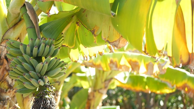 Racimo de fruta de árbol de plátano amarillo verde. hojas tropicales exóticas en la luz del sol. sol y follaje.