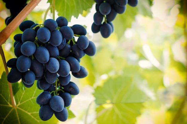 Racimo de uva azul madura colgando de la vid