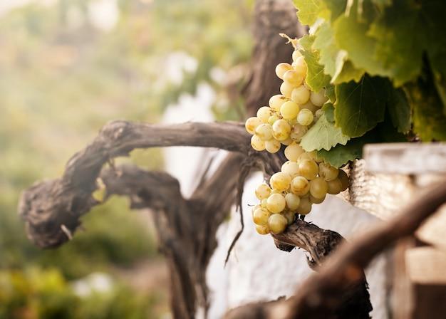 Racimo de uvas blancas en el viñedo.