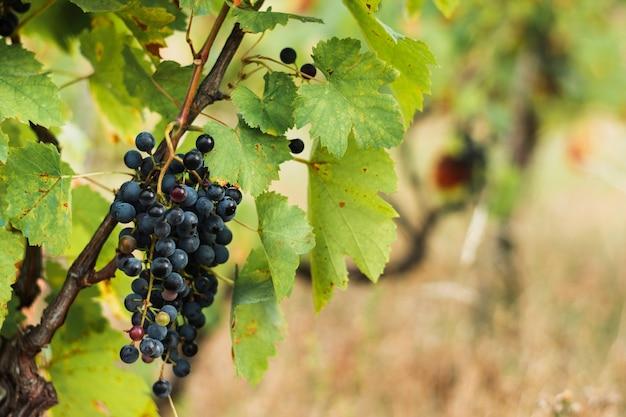 Racimo de uvas en la rama