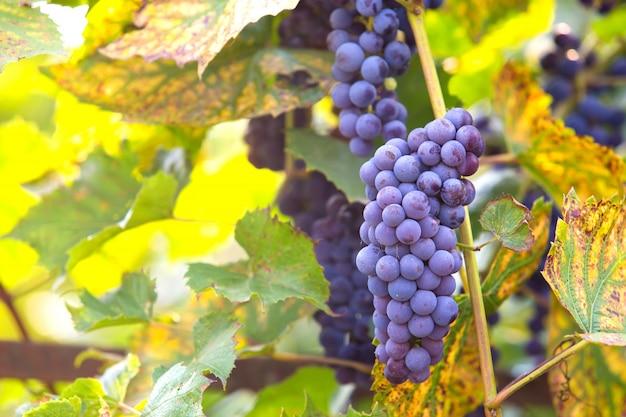 Racimo de uvas en vid a la luz del sol