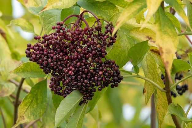 Racimos de frutos de saúco negro en el jardín a la luz del sol