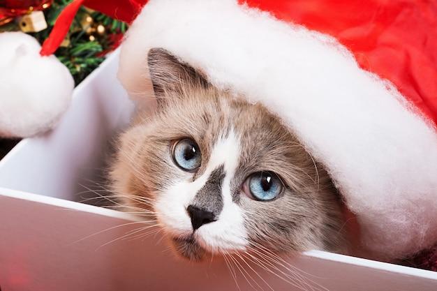Ragdoll gato raza sobre un fondo de navidad