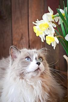 Ragdoll raza de gato y un jarrón de narcisos