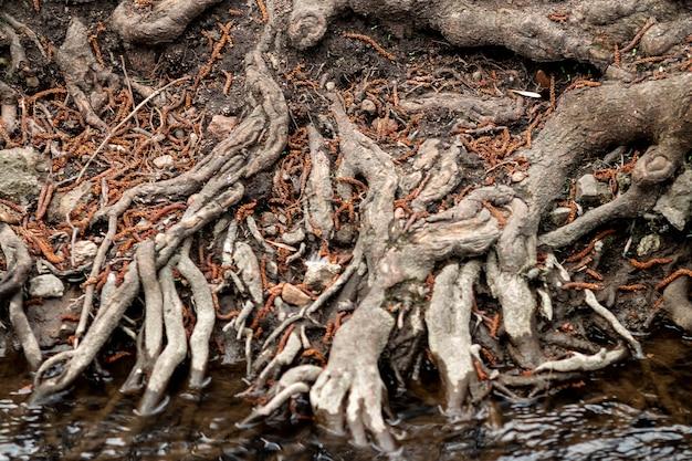 Raíces de árboles, barriendo los sistemas de raíces debajo del árbol.