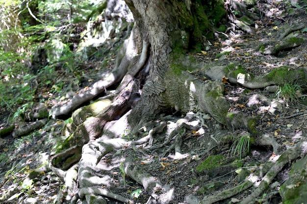 Raíces de árboles grandes en bosque salvaje