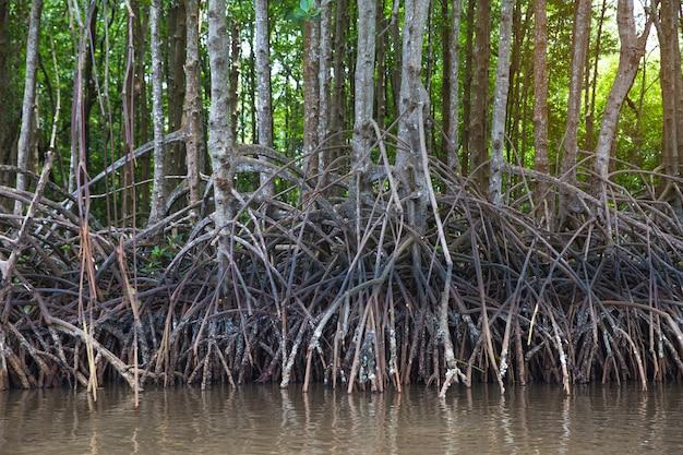 Raíces de manglares. en el fértil bosque de manglar.