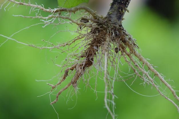 Raíces de una planta con el fondo verde
