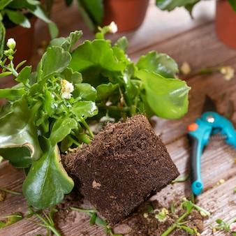 La raíz de la emoción de la viuda, la planta de kalanchoe con tijeras de jardín y guantes