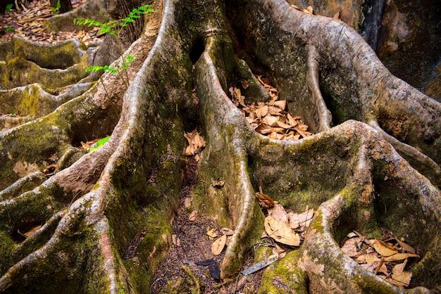 Raíz del gran árbol con hojas secas de color marrón textura y fondo